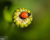 The reason I originally thought it was a Lady Beetle is because of this series shot  on the bud of a daisy.