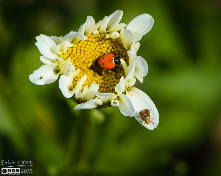 But can you spot the other bug in there?  I did not see it until I processed the photos.<br /> <br /> By the way, I dubbed this a Nine Spotted Specimen of Lady Beetle, but it could be the Sevenspotted.  The front spots are indistinct, hence the doubt.