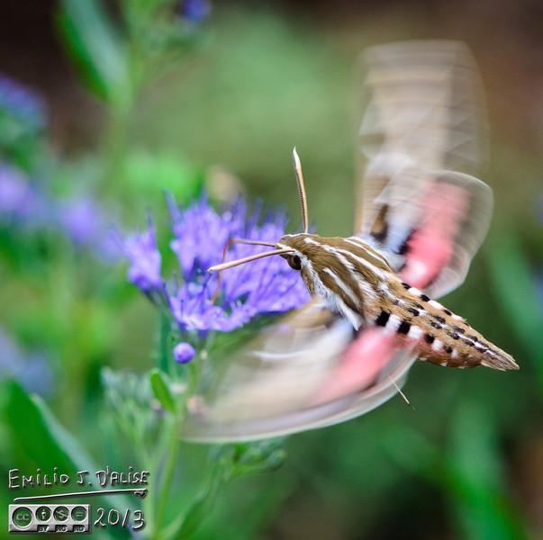 "The Blog post:<br /> <br />  <a href=""http://disperser.wordpress.com/2013/10/07/white-lined-sphinx-hummingbird-moth/"">http://disperser.wordpress.com/2013/10/07/white-lined-sphinx-hummingbird-moth/</a>"