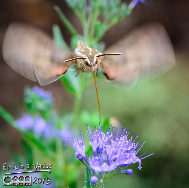 "<a href=""http://www.fs.fed.us/wildflowers/pollinators/pollinator-of-the-month/hummingbird_moth.shtml"">http://www.fs.fed.us/wildflowers/pollinators/pollinator-of-the-month/hummingbird_moth.shtml</a>"