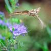 """<a href=""""http://www.birds-n-garden.com/hummingbird_moths.html"""">http://www.birds-n-garden.com/hummingbird_moths.html</a>"""
