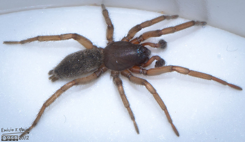 If anyone has further information to let me know it was not a Hobo Spider, please let me know.