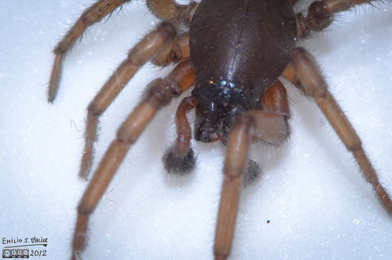 """Based on a few sources, I concluded this was indeed a Hobo Spider.<br /> <br />  <a href=""""http://en.wikipedia.org/wiki/Hobo_spider"""">http://en.wikipedia.org/wiki/Hobo_spider</a><br />  <a href=""""http://www.puyallup.wsu.edu/plantclinic/resources/pdf/pls116hobospider.pdf"""">http://www.puyallup.wsu.edu/plantclinic/resources/pdf/pls116hobospider.pdf</a><br />  <a href=""""http://www.termite.com/spider-identification.html#hobo"""">http://www.termite.com/spider-identification.html#hobo</a>"""