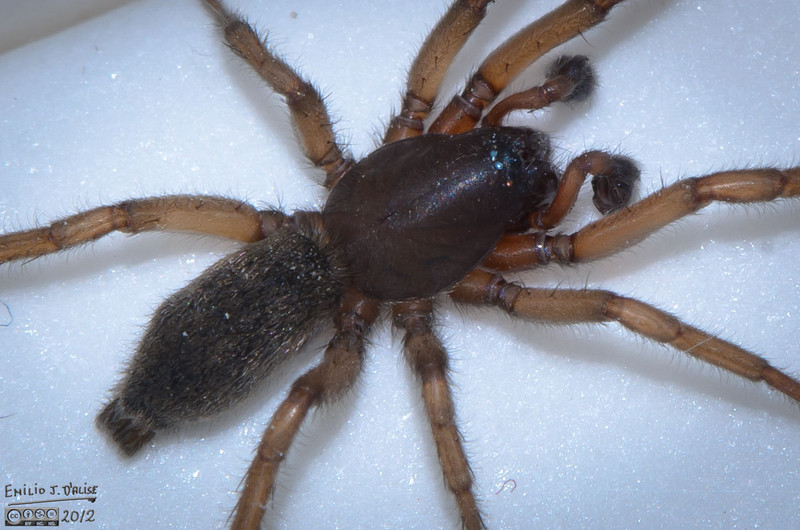 Later, I looked into identifying the type of spider I had safely relocated outdoors.