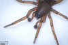 However, based on the other descriptors, I am reasonably sure this is, in fact, a Hobo Spider.
