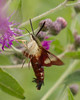 Hummingbird Moth at Ballard Nature Center
