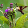 Clearwing Hummingbird Moth Nectaring
