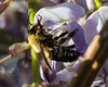 Hairy Bumble Bee