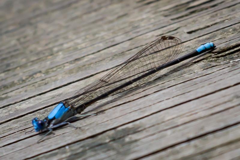 Damsel Fly in Blue