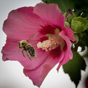Rose of Sharon with Pollinated Bee