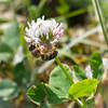 Honey Bee Clinging to Clover