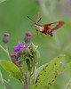 Hummingbird Moth Flying