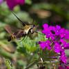 Hummingbird Moth Flying to Flower