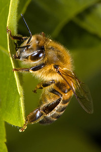 Honey Bee grooming itself while perched on the edge of a leaf.