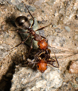 The upper Thatching Ant is carrying the other ant, which may be dead.