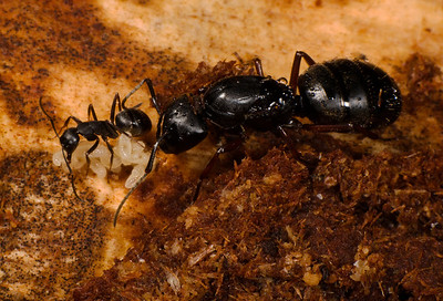 Carpenter Ant queen with worker.  The queen is about an inch long.