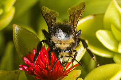 Bumblebee: Species - Bombus Californicus