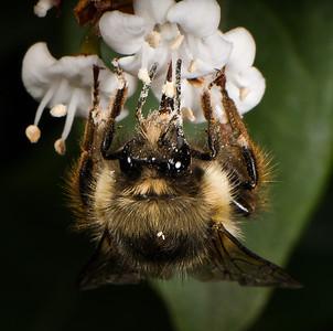 Feeding Bumblebee.