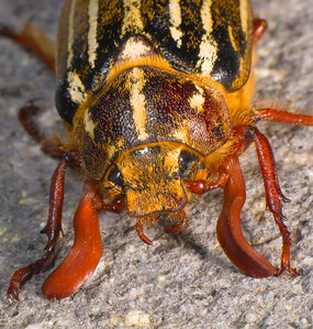 """A member of the family of Lamellicorn Beetles, named for the  plate-like structures that comprise the third segment of their antennae.  These structures are called """"lamellae."""""""