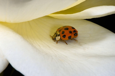 Asian Spotted Ladybird Beetle on a rose petal.
