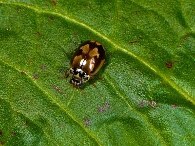 Pine Ladybird Beetle
