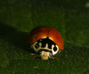 Newly emerged Asian Spotted Ladybird Beetle.  Spots have not yet darkened.