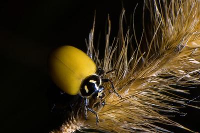 Ashy Gray Ladybird Beetle