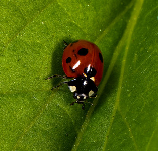 Seven-spotted Ladybird Beetle.