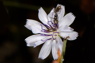 Three beetles and an Argentine Ant share this very small flower