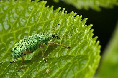 Blunt-nosed Weevil