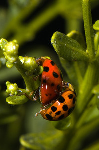 Mating Asian Spotted Ladybird Beetles