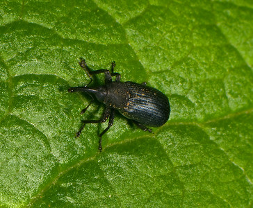 Black Vine Weevil.