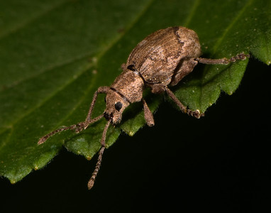 Blunt-nosed Weevil - missing the lower part of its left front leg.
