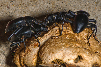 Stink Beetles:  Pair on left is mating.  The beetles are on a broken-off piece of a large mushroom.