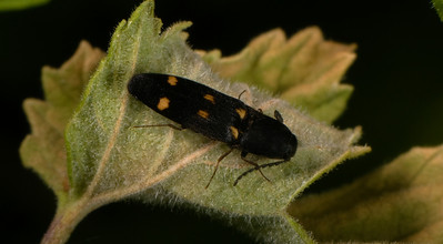 A wood-boring beetle.