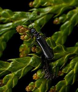 Mating Beetles.  The species is in the same family as fireflies - but has no light.
