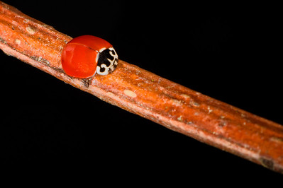 Western Blood-Red Ladybird Beetle