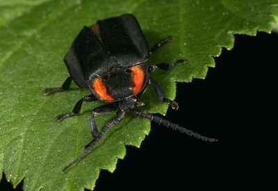 Black Lampyrid - a type of firefly beetle that does not glow.