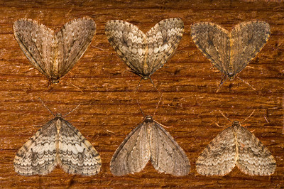 Six moths, over-wintering as adults.  Same species - all were within a few feet of each other.