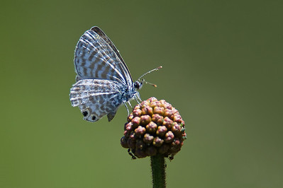 Marine Blue Butterfly (and at least one ant).