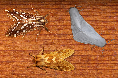 Tiger Moths:  Upper left - Silver-Sided TIger Moth.  Bottom - Yellow-Spotted Tiger Moth.  Upper right - mating Yellow Woolybears.