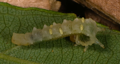 Caterpillar parasitized by a wasp.