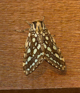 Silver Spotted Tiger Moth