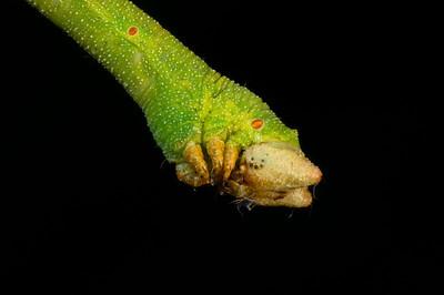 Head of a caterpillar.