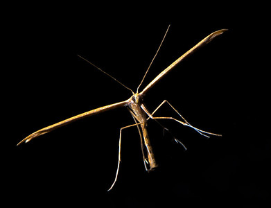Plume Moth, ventral view