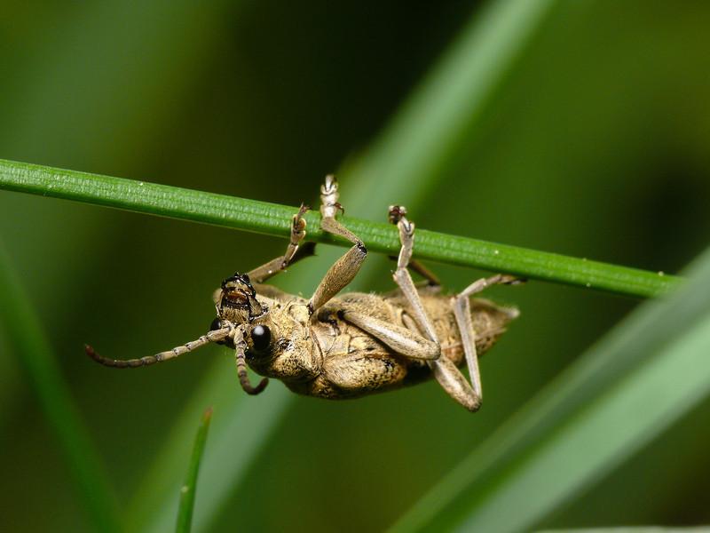 Rhagium mordax (Lövträdlöpare)