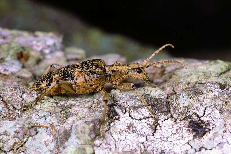 Rhagium mordax - Lövträdlöpare