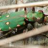 Cicindela campestris (Grön sandjägare)