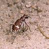 Cicindela silvatica - Skogssandjägare