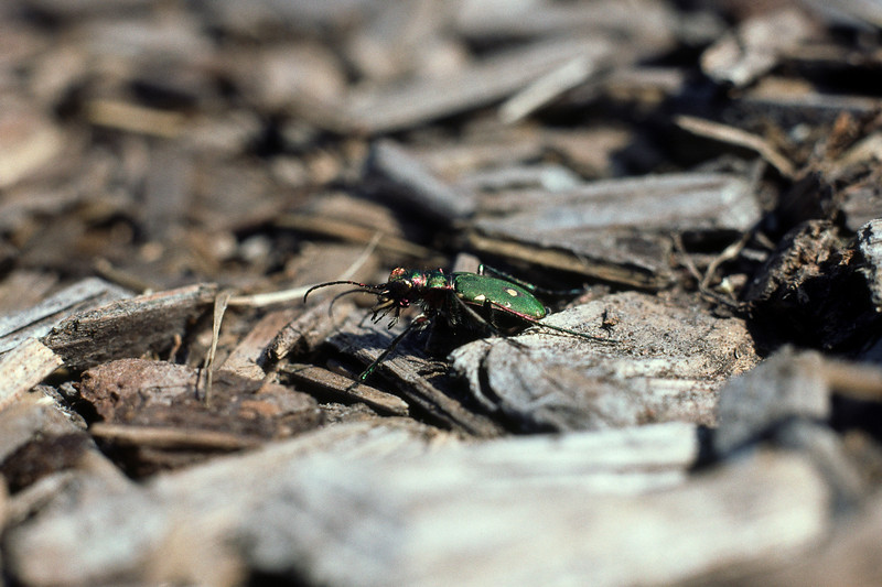 Cicindela campestris - Grön sandjägare